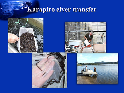 karapiro elver transfer
