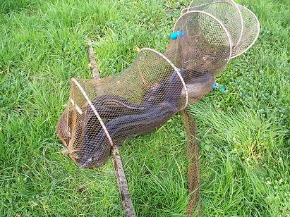 eels in a net