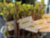 ElderberryCuttings.jpg