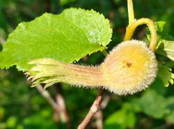A Hazel Nut