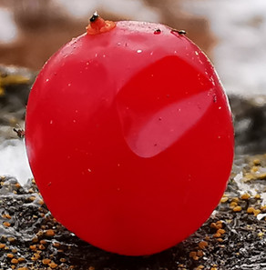 Dented Cranberry