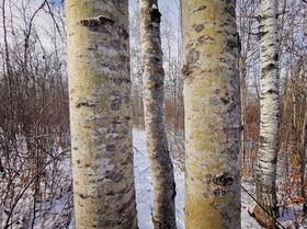Some Poplar Trees