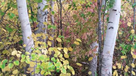 The Birch Forest