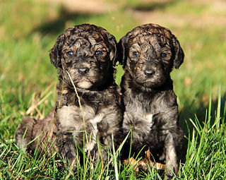Dog Breeder | Windy Hill Dogs | United States