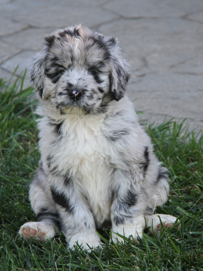 Black Merle & White Puppy