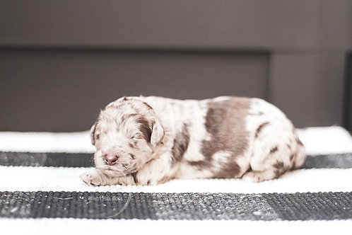 Brown Merle Newfypoo Female Deposit Non-Refundable