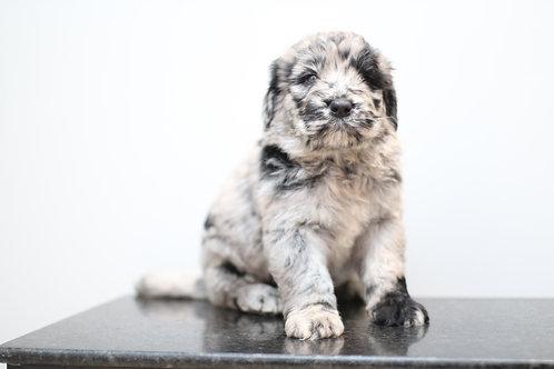 MERLE Newfypoo puppy (balance after deposit)