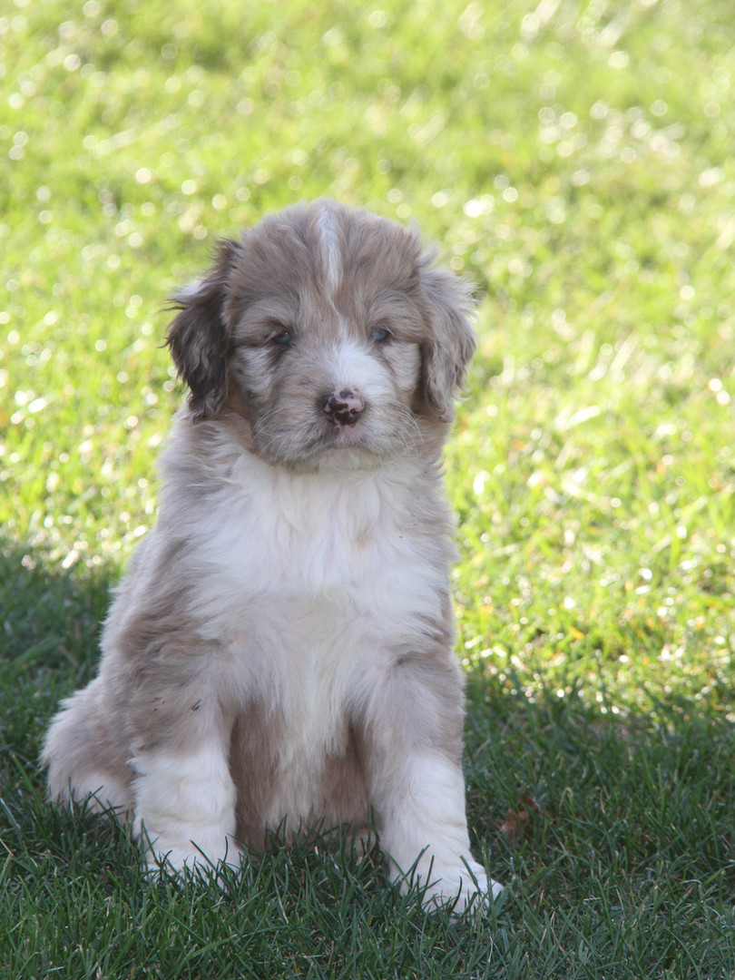 Brown Merle & White Puppy