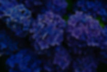 Deep%20blue%20hydrangea_edited.jpg