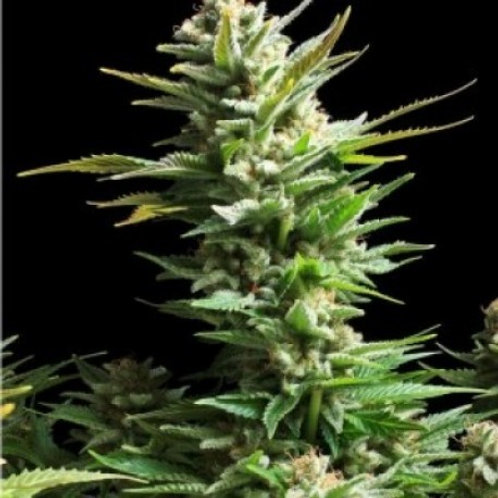 Amnesia Haze feminized 5 seeds