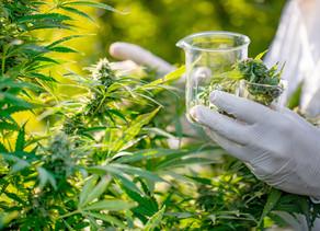 Société :Les universités pour étudier l'industrie du cannabis
