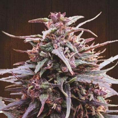 Purple Haze x Malawi feminized 3 seeds