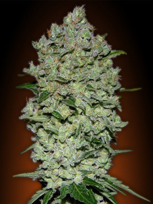 Auto Biodiesel Mass feminized 10 seeds