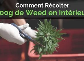 Culture :Comment Récolter 500 Grammes de Weed en Intérieur ?