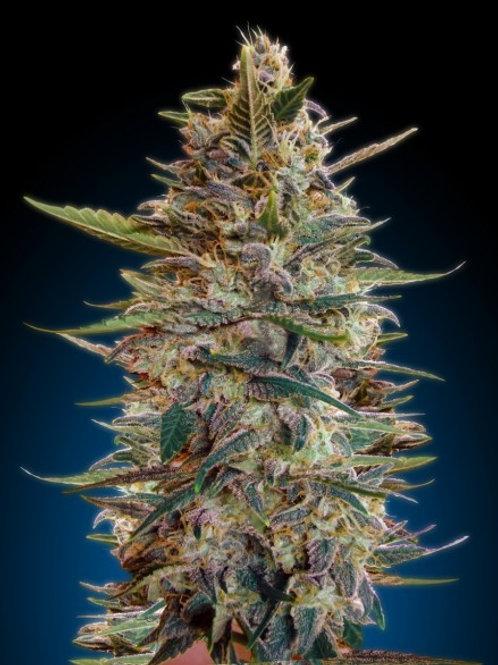 Auto Blue Diesel feminized 3 seeds