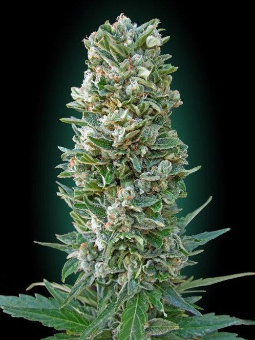 Auto Heavy Bud feminized 3 seeds