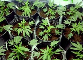 Italie :la culture domestique de quantités minimales de cannabis n'est pas condanable