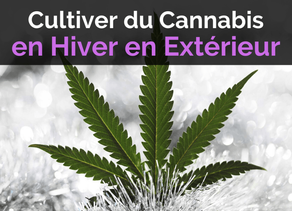 Culture :Comment Cultiver du Cannabis en Hiver en Extérieur