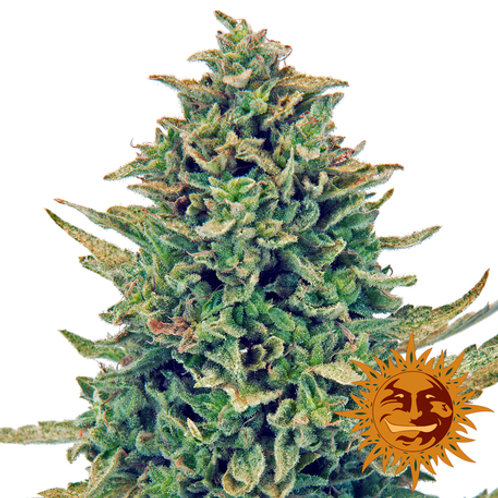 CBD Blue Shark feminized