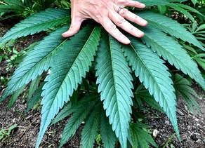 Culture :Culture de cannabis selon la méthode végétalienne