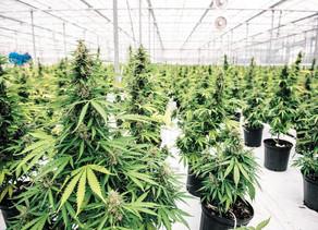 Canada :La première boisson à base de cannabis arrive au Québec