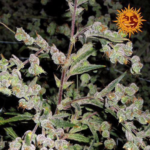 Dr Grinspoon feminized