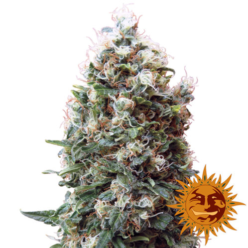 Phatt Fruity feminized