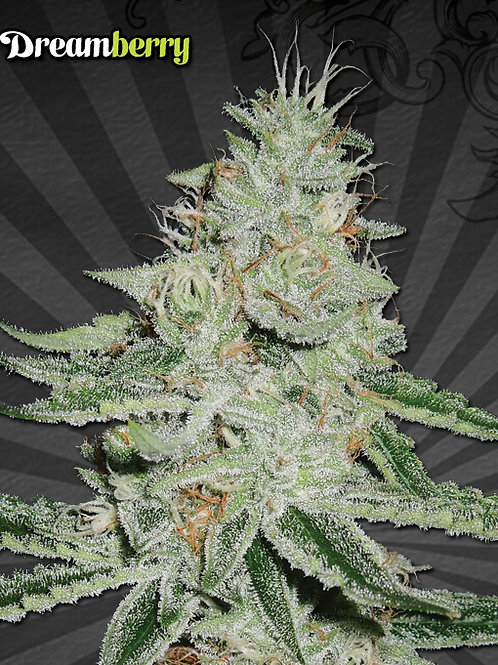 Dreamberry auto feminized 3 seeds