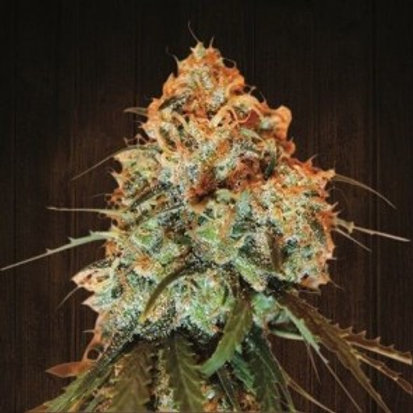 Golden Tiger feminized 3 seeds