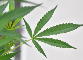 Italie : Cannabis,cultiver chez soi n'est pas un crime