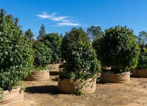 Culture :Comment faire pousser des plants de cannabis géants à l'américaine