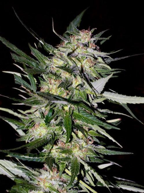 Jack Plant feminized 10 seeds