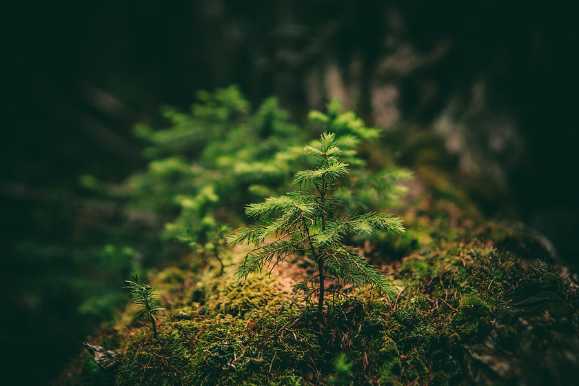 Conifer sapling_edited.jpg