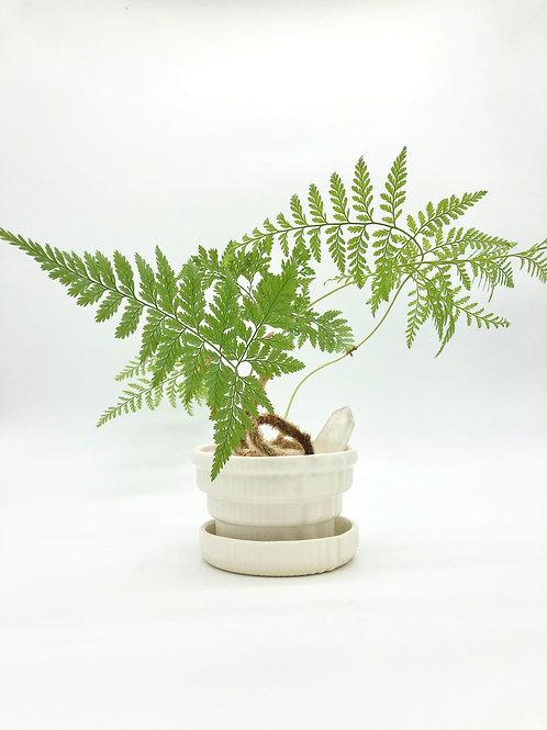 Ambrosius Planter