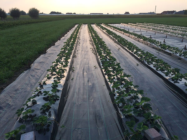Biologisch aardbeien Puur van't veld