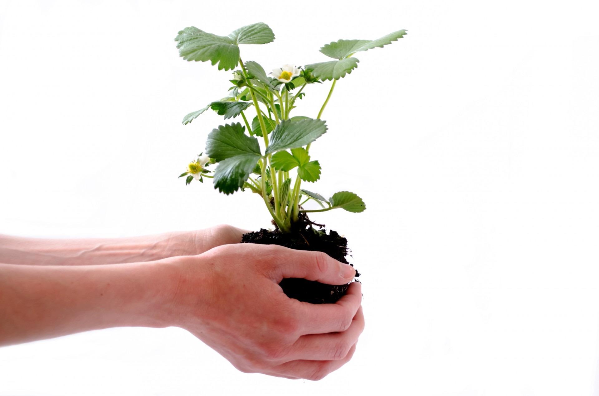 Biologische aardbeiplanten