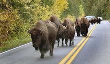 bison-train-road-jam_dp_680.jpg