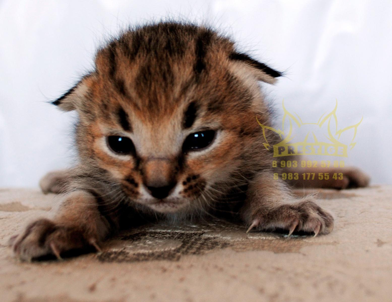 Котенок Каракет Ф2 (caracat f2, boy)