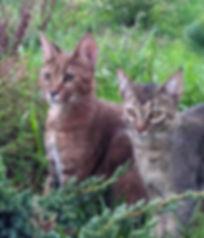 Сожержание котов и кошек породы каракет