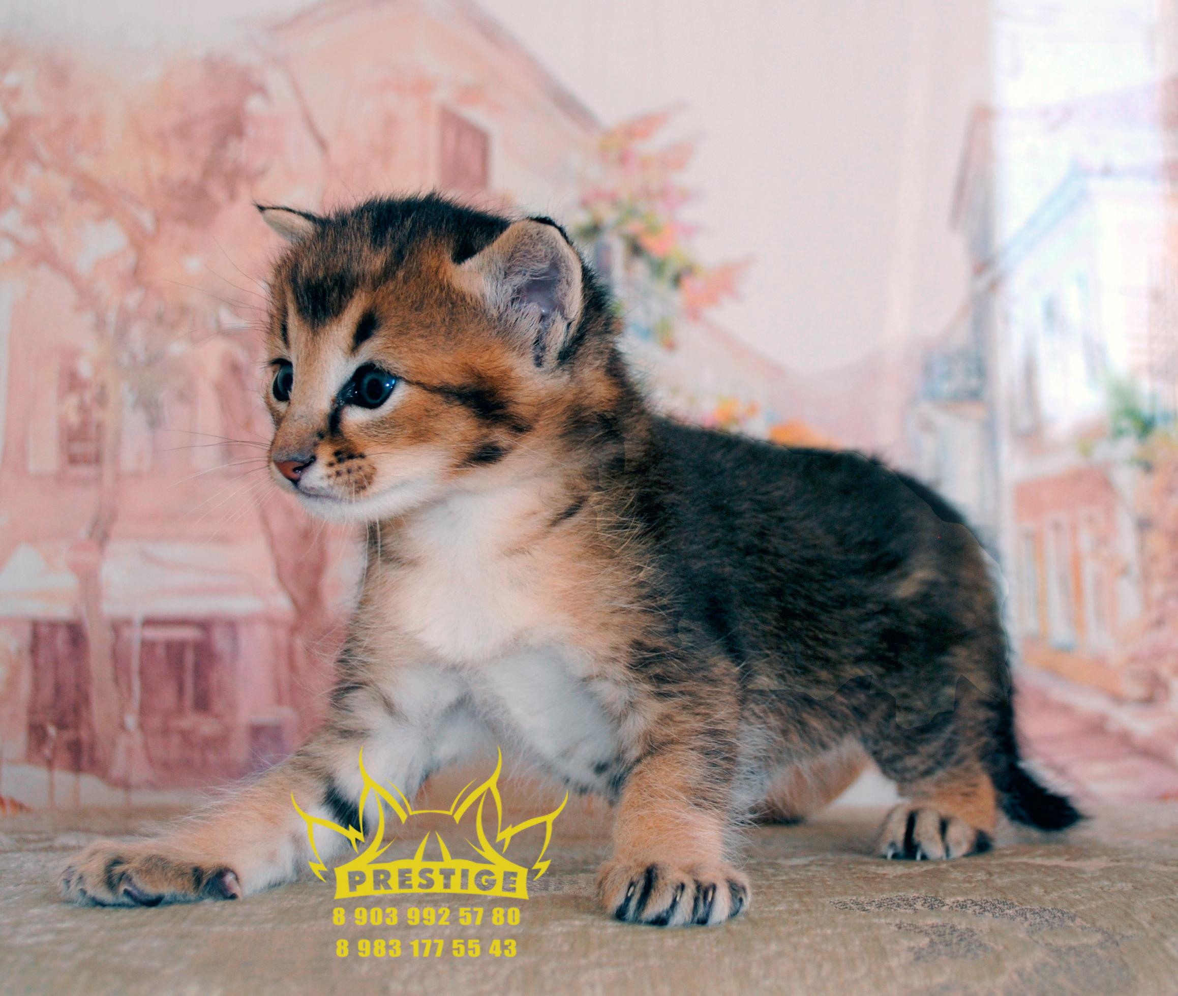 Котенок Каракет Ф2 (caracat f2,girl)