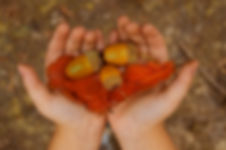 yellow acorn in child hands.jpg