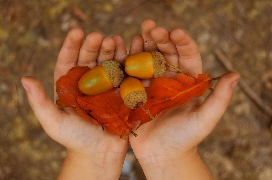 yellow acorn in child hands.jpg