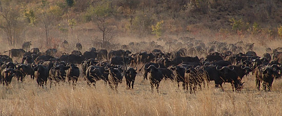 Buffalo of the Kruger