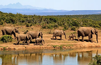 Elephants of the kruger