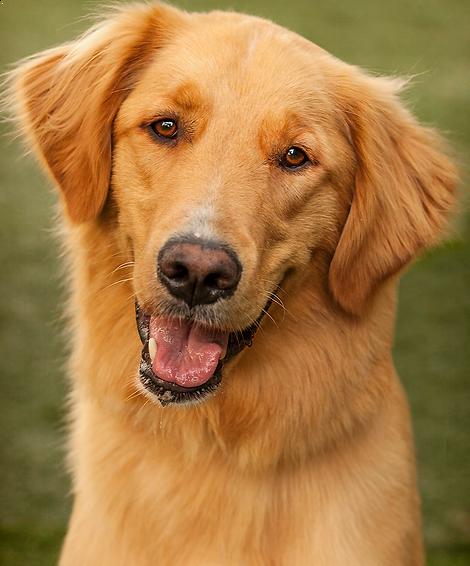 The spoiled dog salon and resort foster dog.  Salon. Golden Retriever.