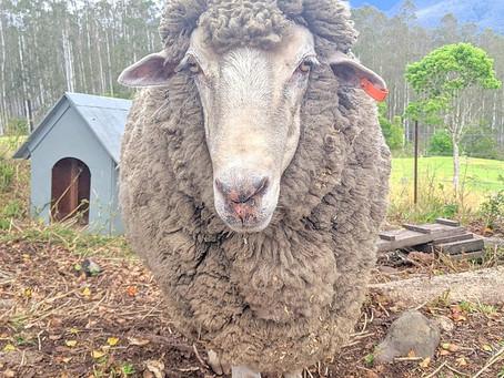 A sheep that's never eaten grass?