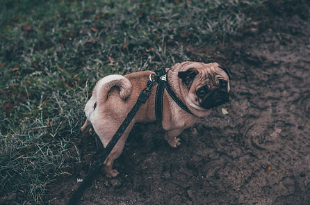 A pug on a leash looks back with a sad expression