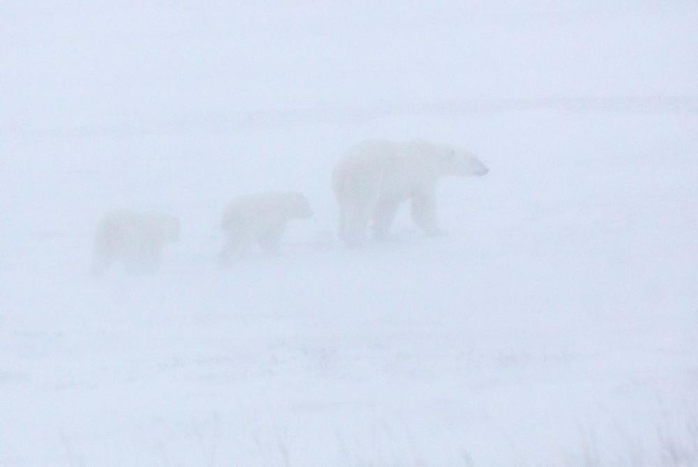 Polar bears in snowstorm