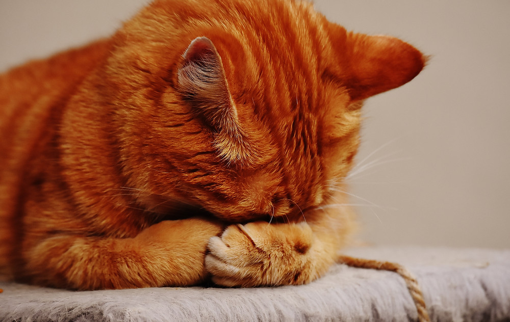 An orange cat falcepalming