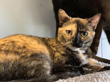 Tortie cat Becky